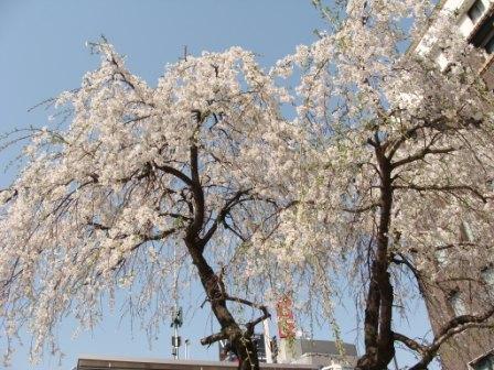 日本橋交番前のしだれ桜